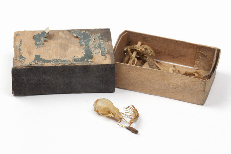 Opened matchbox containing skeletal material from mice.